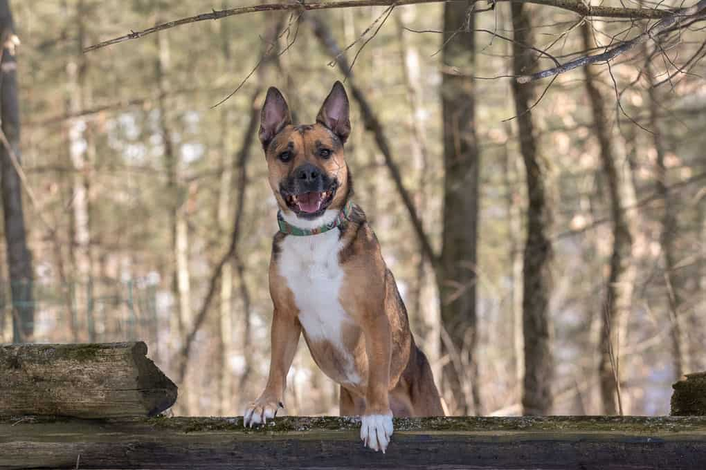 Adopted Shepherd Mix Shadow Dog Photography