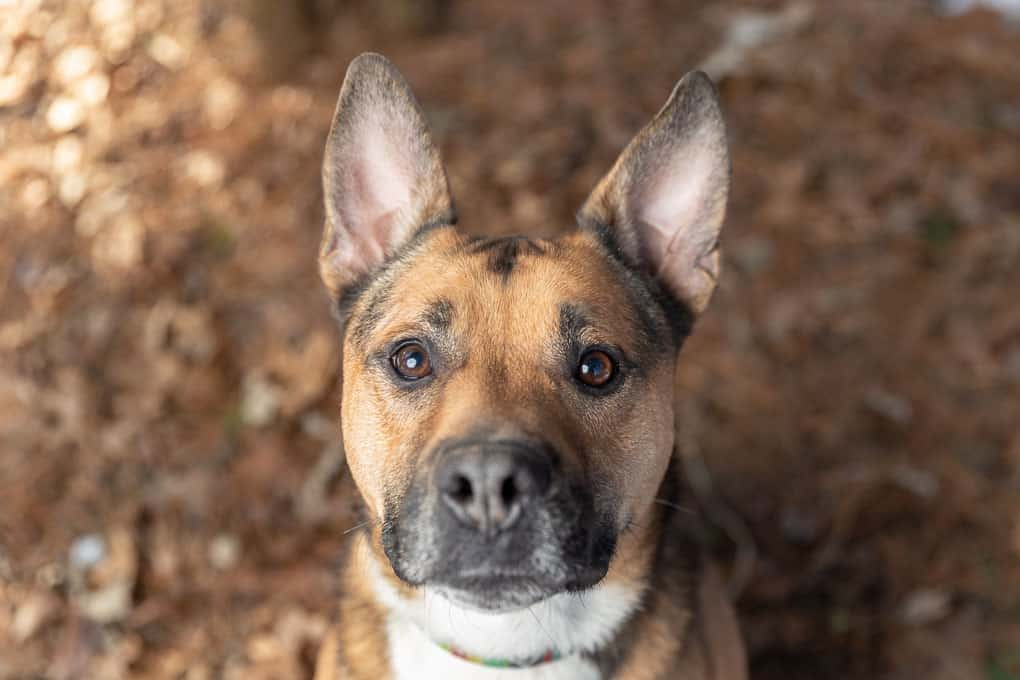 Rescued Shepherd Mix Shadow Dog Photography