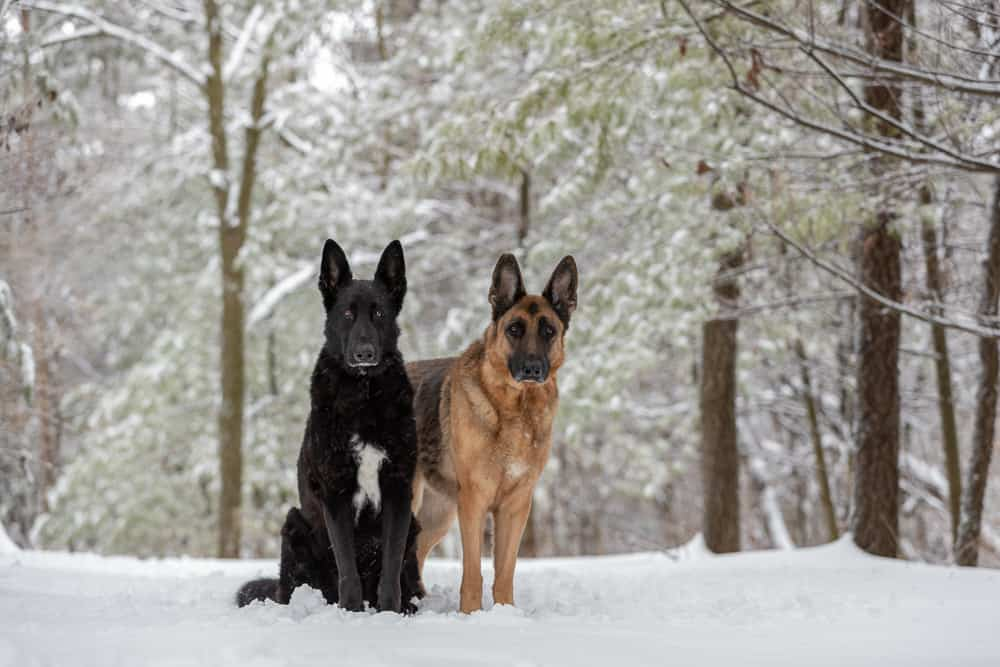 German Shepherd Dogs Shadow Dog Photography