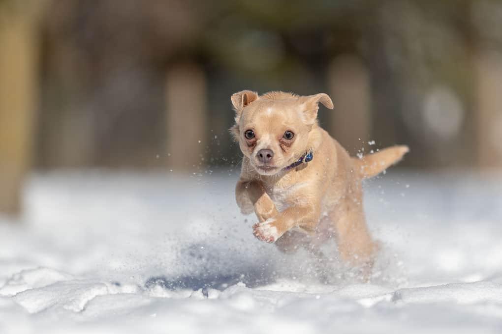 Running Chihuahua Shadow Dog Photography