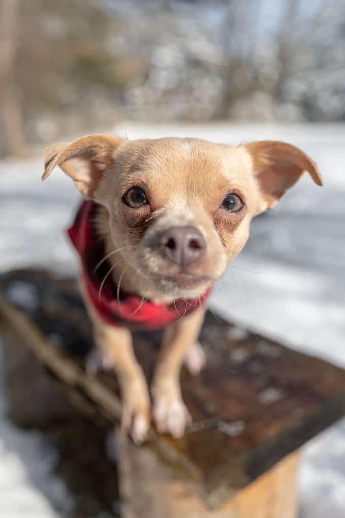 Adopted Chihuahua Shadow Dog Photography