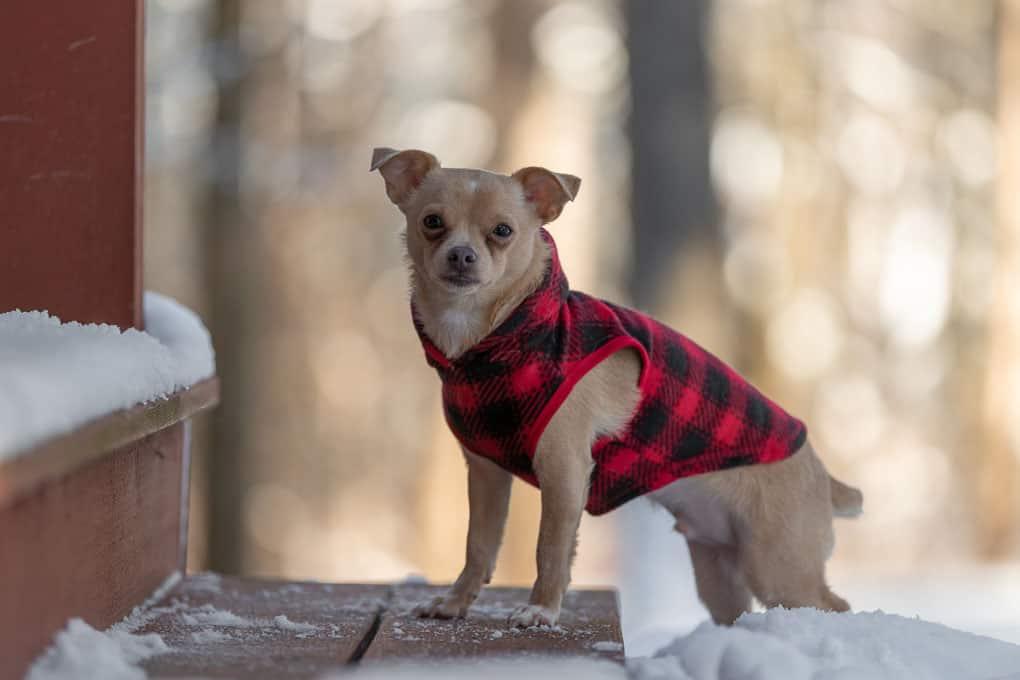 Chihuahua Shadow Dog Photography