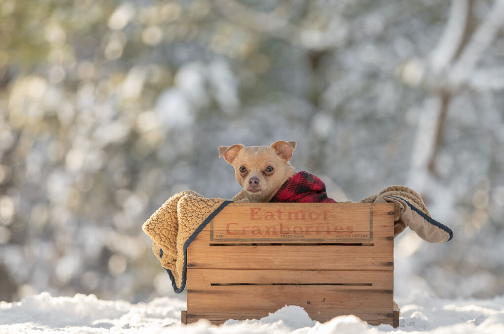 Rescued Chihuahua Shadow Dog Photography