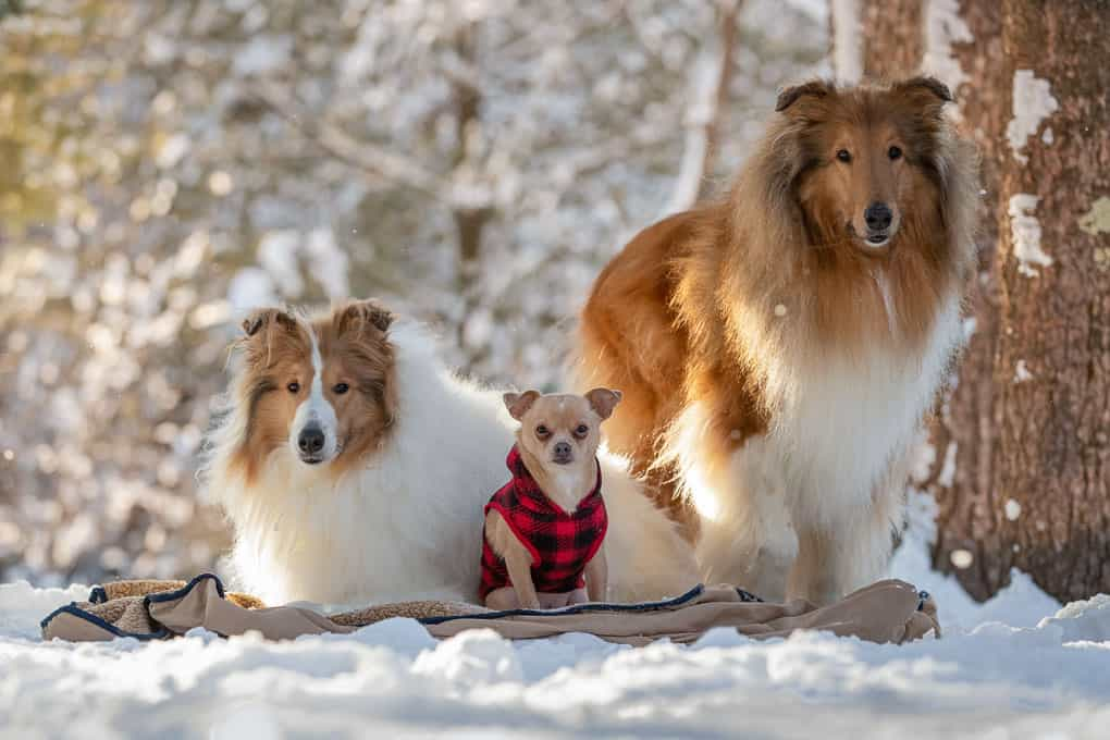 Chihuahua and Rough Coated Collies Shadow Dog Photography