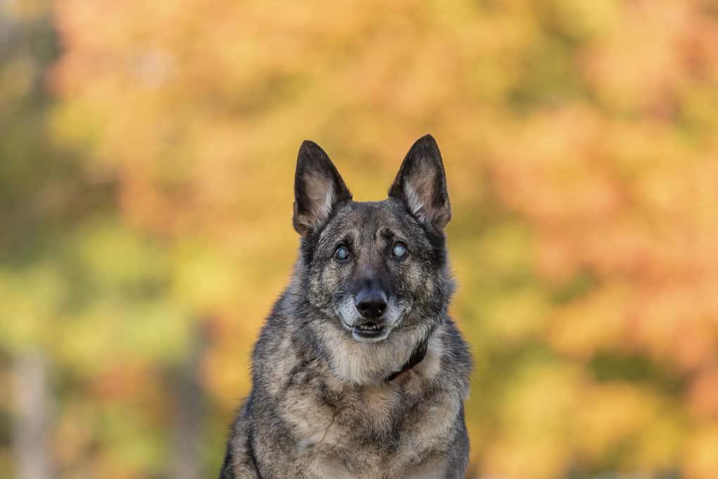 Blind German Shepherd Dog Shadow Dog Photography