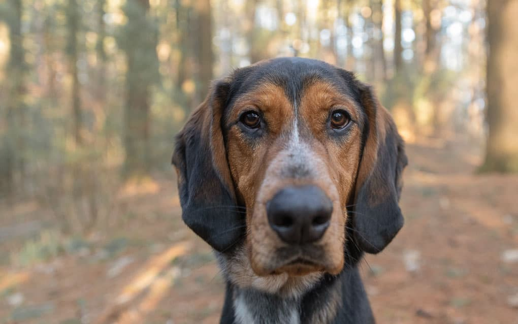 Coonhound Shadow Dog Photography-1
