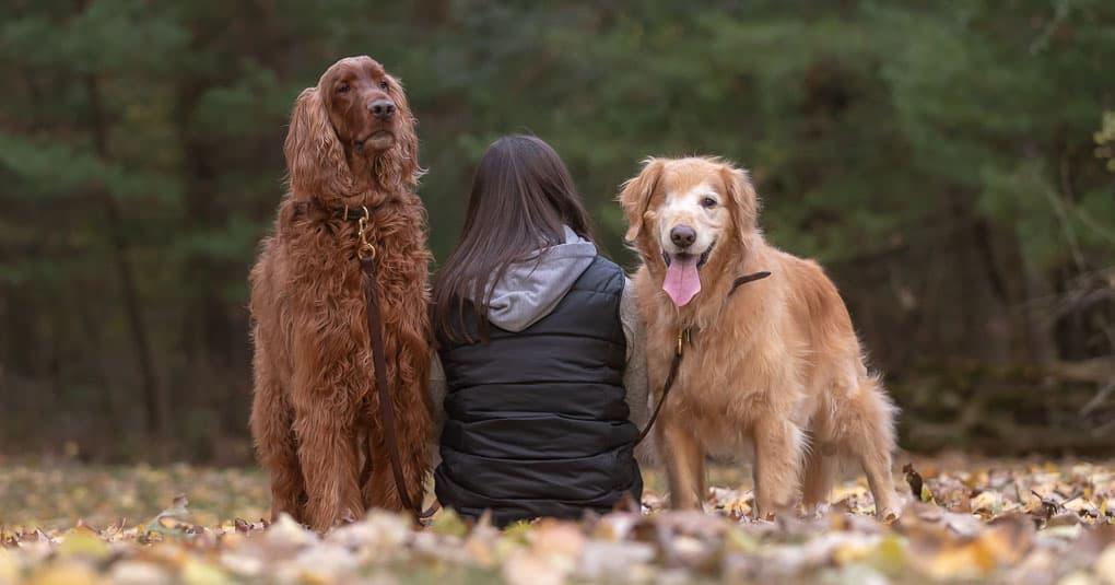 Irish Setter and Golden Retriever Shadow Dog Photography