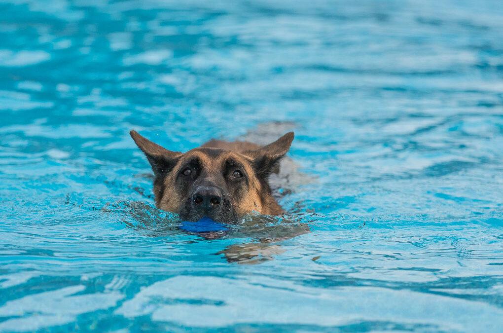 Swimming German Shepherd Shadow Dog Photography