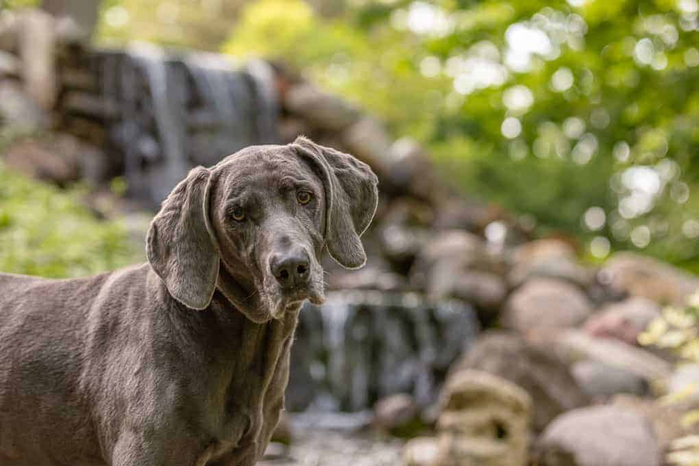 Weimaraner staying cool in hot weather Shadow Dog Photography