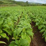 Estimativa para a safra de tabaco 2020/2021 está em 606.952 toneladas