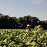 Produtores de tabaco buscam agendas paralelas com Embaixadas na COP8