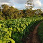 Entidades e empresas não chegam a um acordo sobre o preço do tabaco na atual safra
