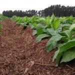 Dia de campo sobre diversificação agrícola traz novos temas a substituição de produção de tabaco, na Expoagro Afubra