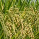 Produção de arroz em Venâncio terá incremento na atual safra