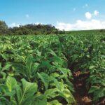 Área plantada com tabaco em Venâncio terá redução de até 8%