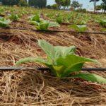 Dia Mundial da Água: Para não contar só com o clima, produtores investem na fertirrigação