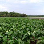 Boas projeções de ganhos na agricultura de Venâncio Aires para 2021