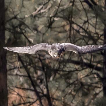 The Peregrine Falcon – 11 November 2018