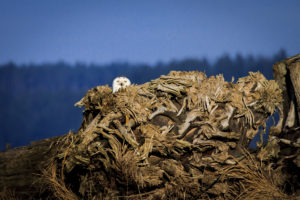 Snowy Owl at Nisqually – February 5, 2012