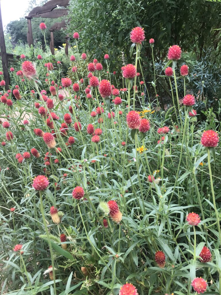 Edible Globe Amaranth