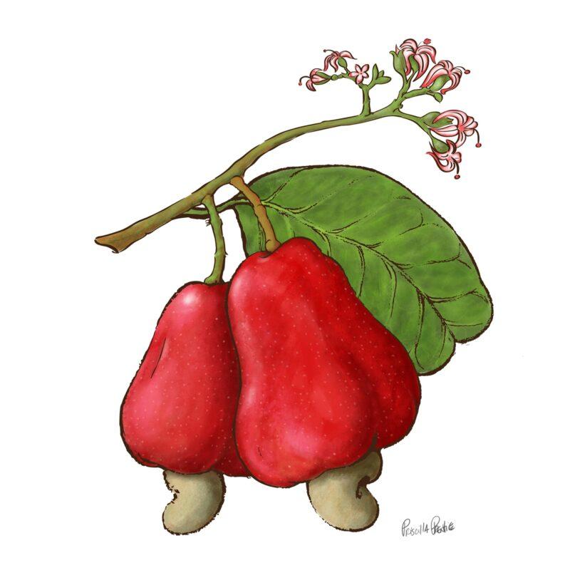 Caju Fruit Illustration by Priscilla Prentice