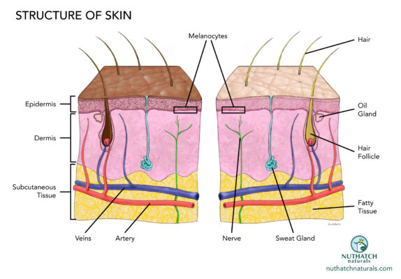 Nuthatch Naturals diagram of the structure skin by illustrator Priscilla Prentice