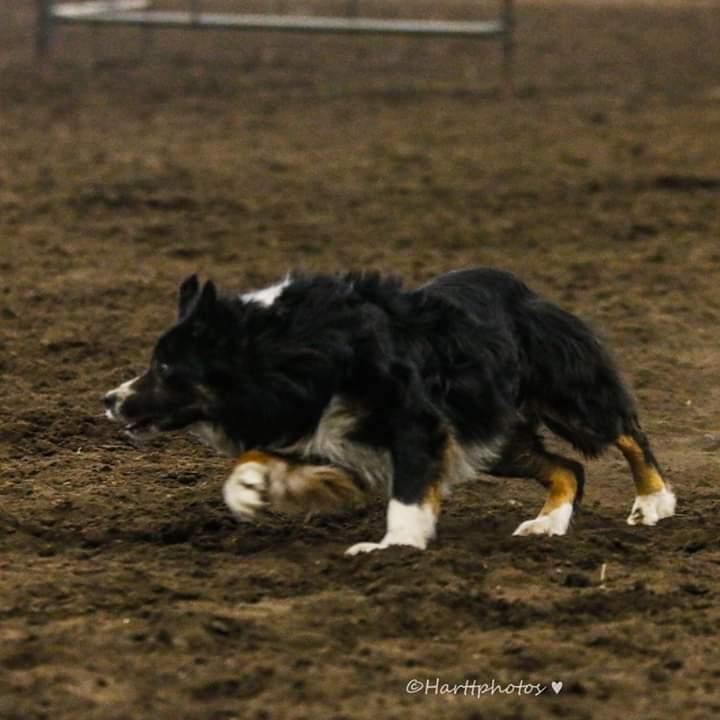 Stock Dog