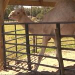 Florida woman bites 600-pound camel's testicles after it sat on her.
