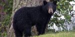Bear Hunting Season Could Yield Big Harvest