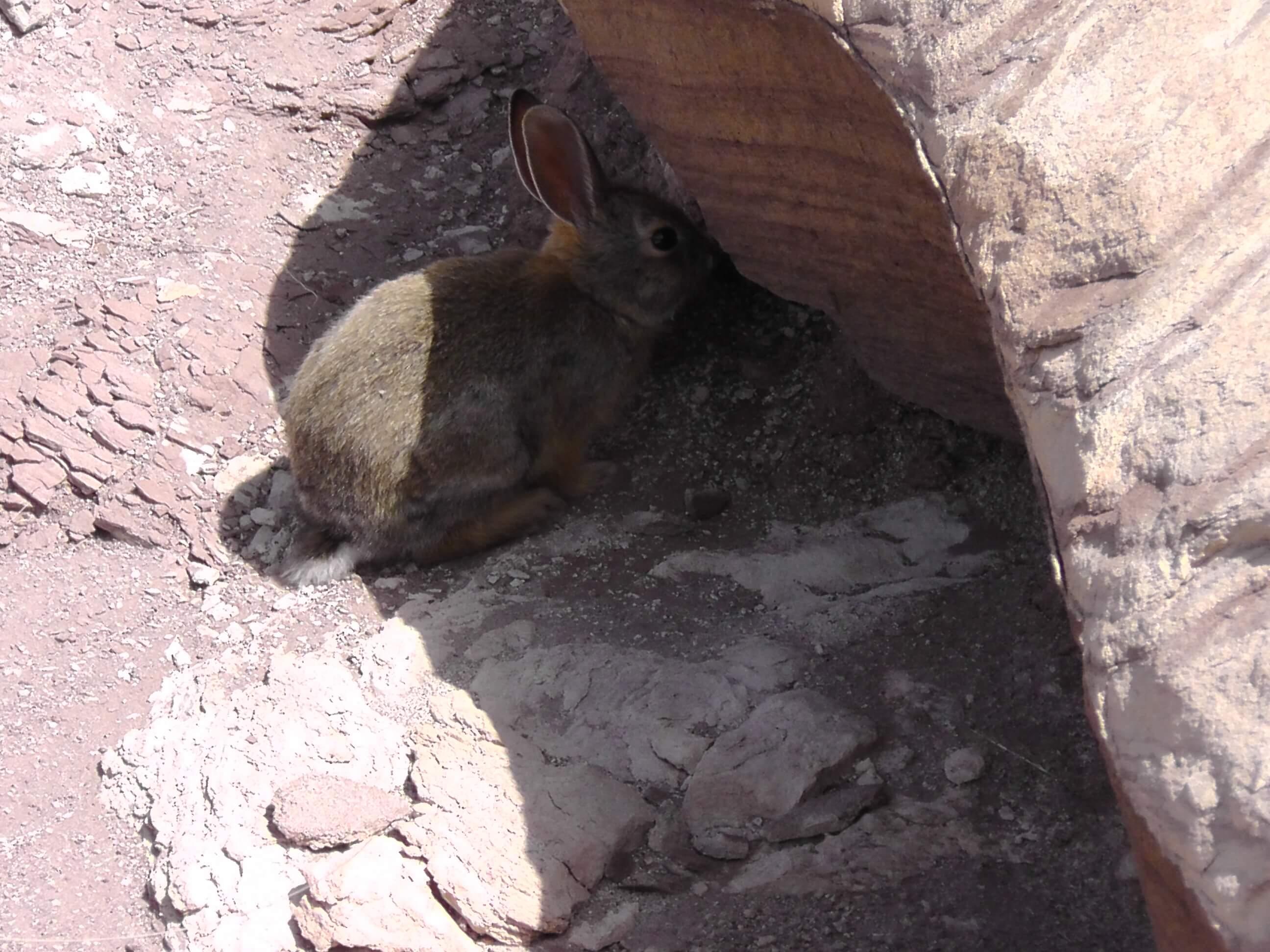 Rabbit - Petrified Forest National Park, AZ