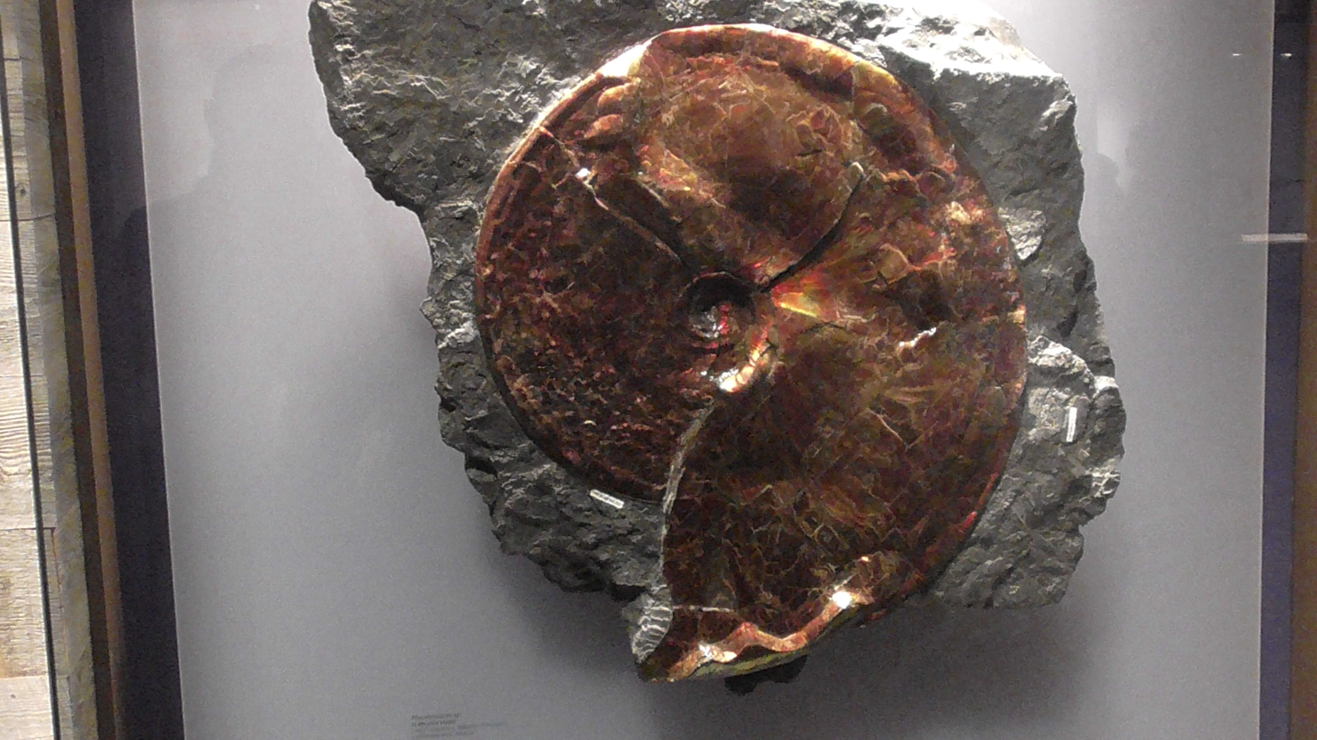 Ammonite, Royal Tyrrell Museum