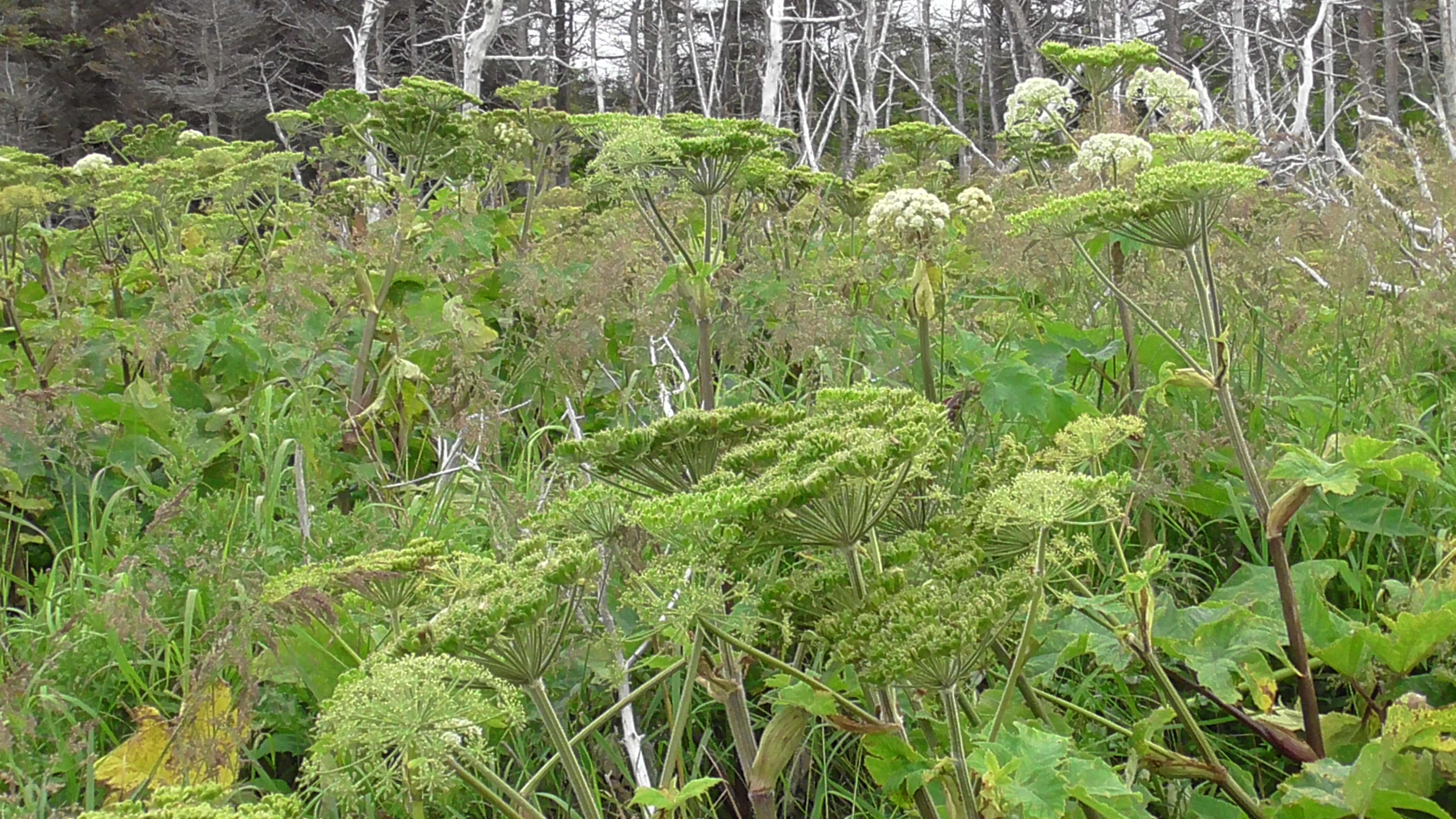 Cow Parsnip in Northern Newfoundland