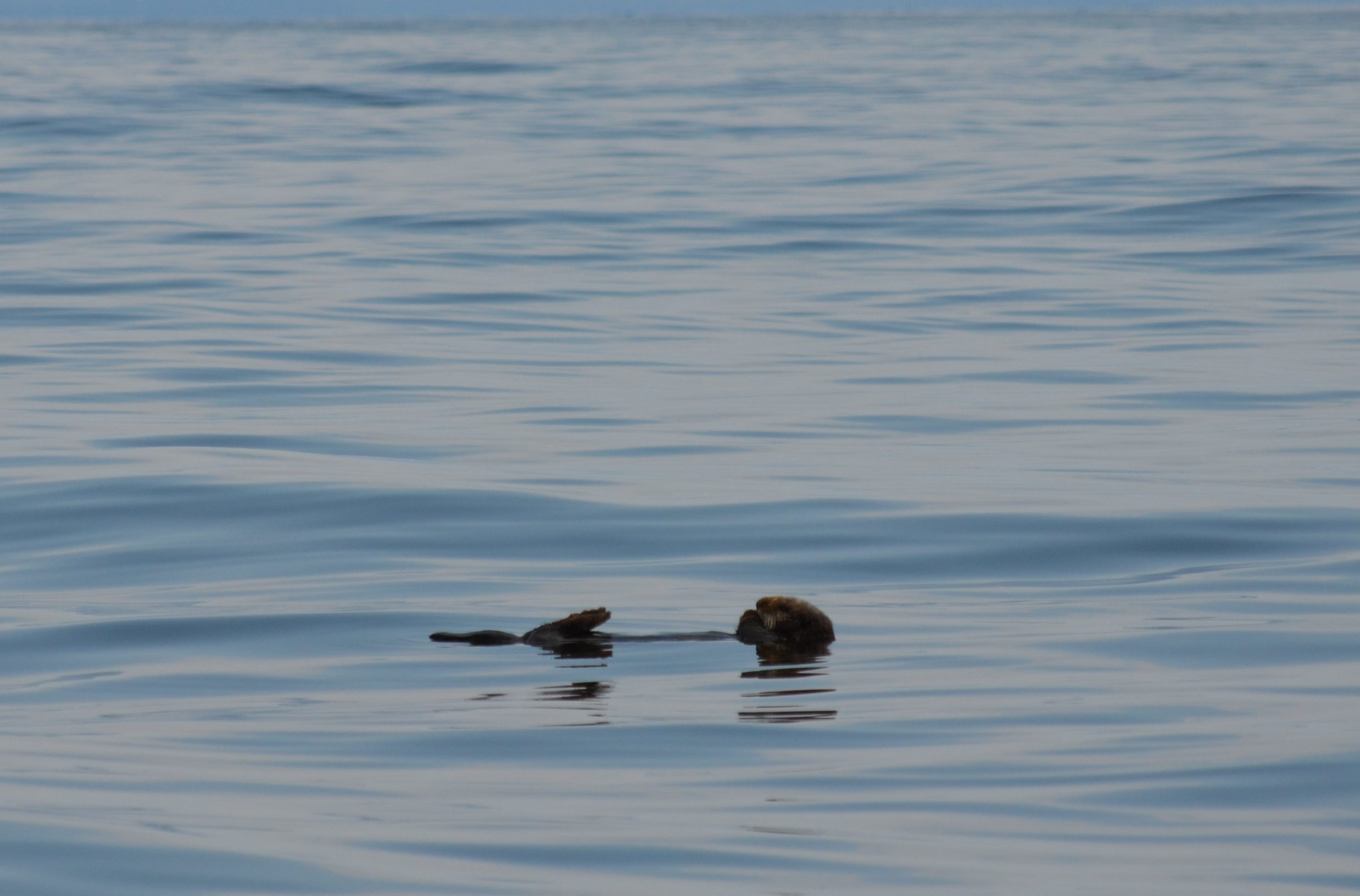 Sea otter lazing around
