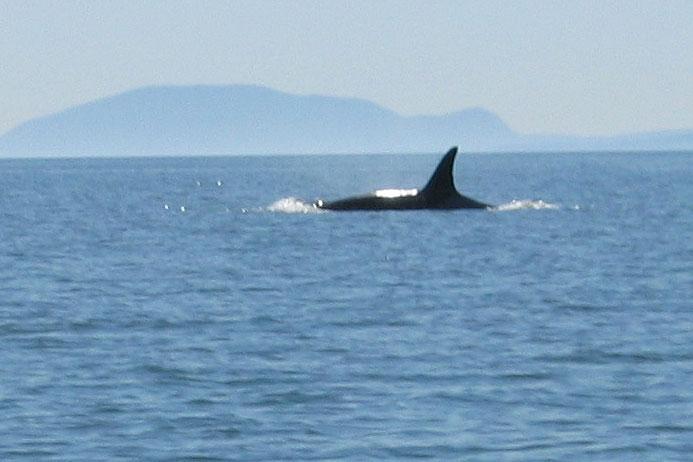 Killer whales at Tsawwassen