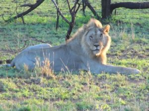 Lions deserve to Live Free from Captivity and Abuse