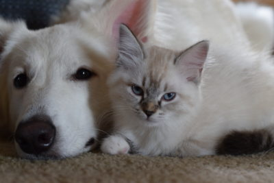 Seal Lynx Point Mitted ragdoll and German Shepherd