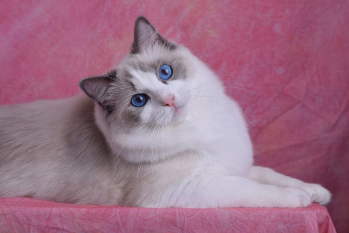 Blue Point Bicolor female Ragdoll