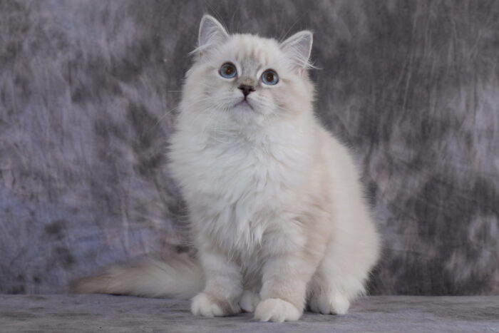 Blue Lynx Point Mitted female Ragdoll