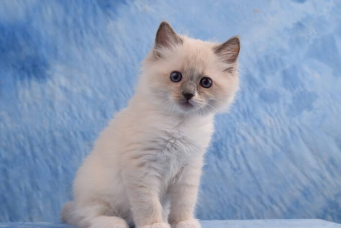 Blue Point Mitted male Ragdoll