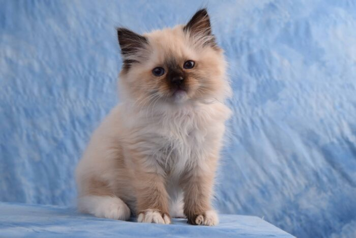 Seal Point Mitted female Ragdoll