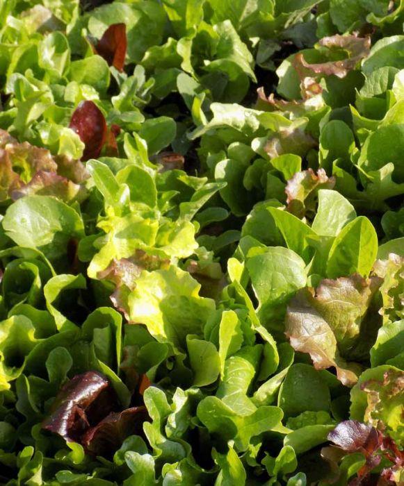 5 Lettuce Blend