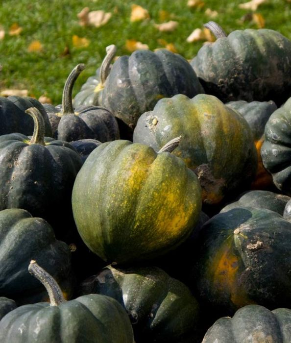Table King Acorn Winter squash