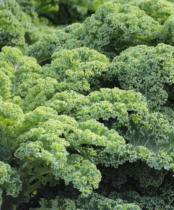Dwarf Blue Kale