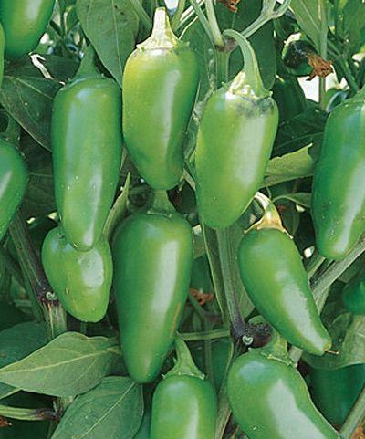 Jalepeno Pepper