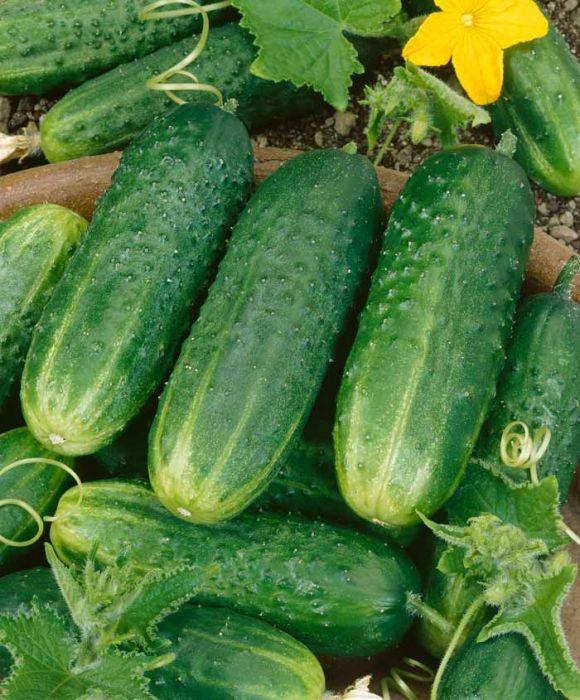 Pioneer Pickling Cucumber