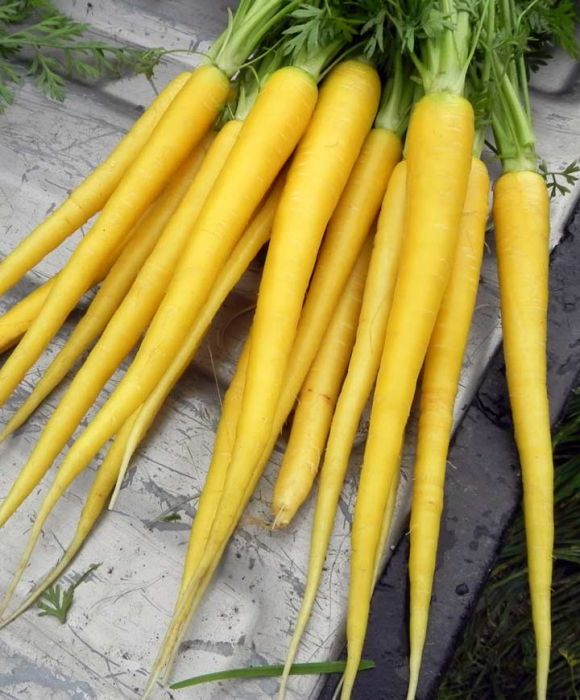 Solar Yellow Carrot