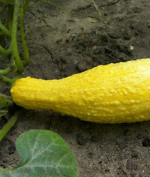Yellow Straightneck Summer Squash