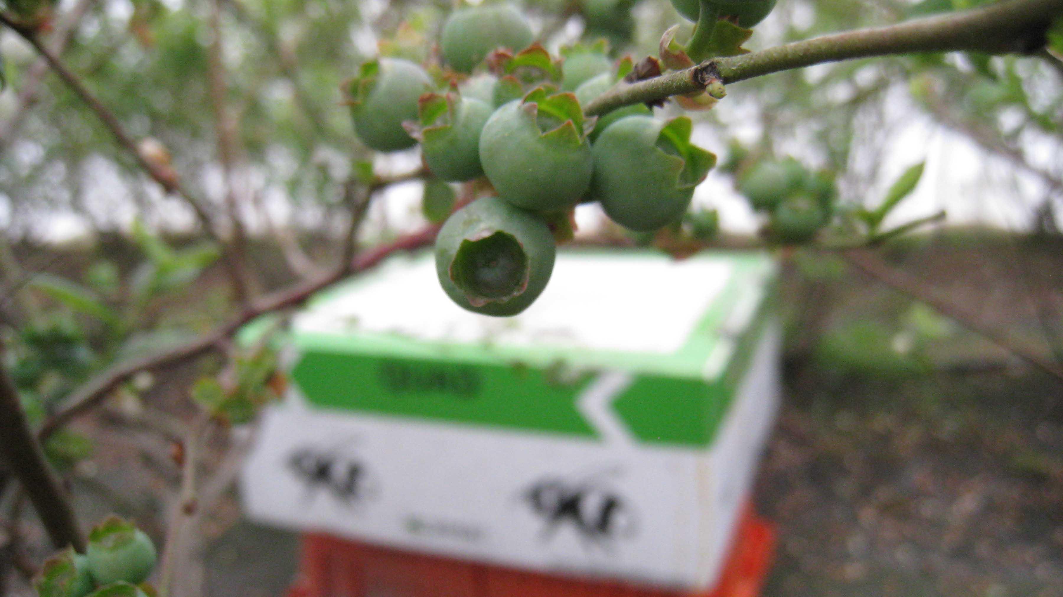 More Green Berries