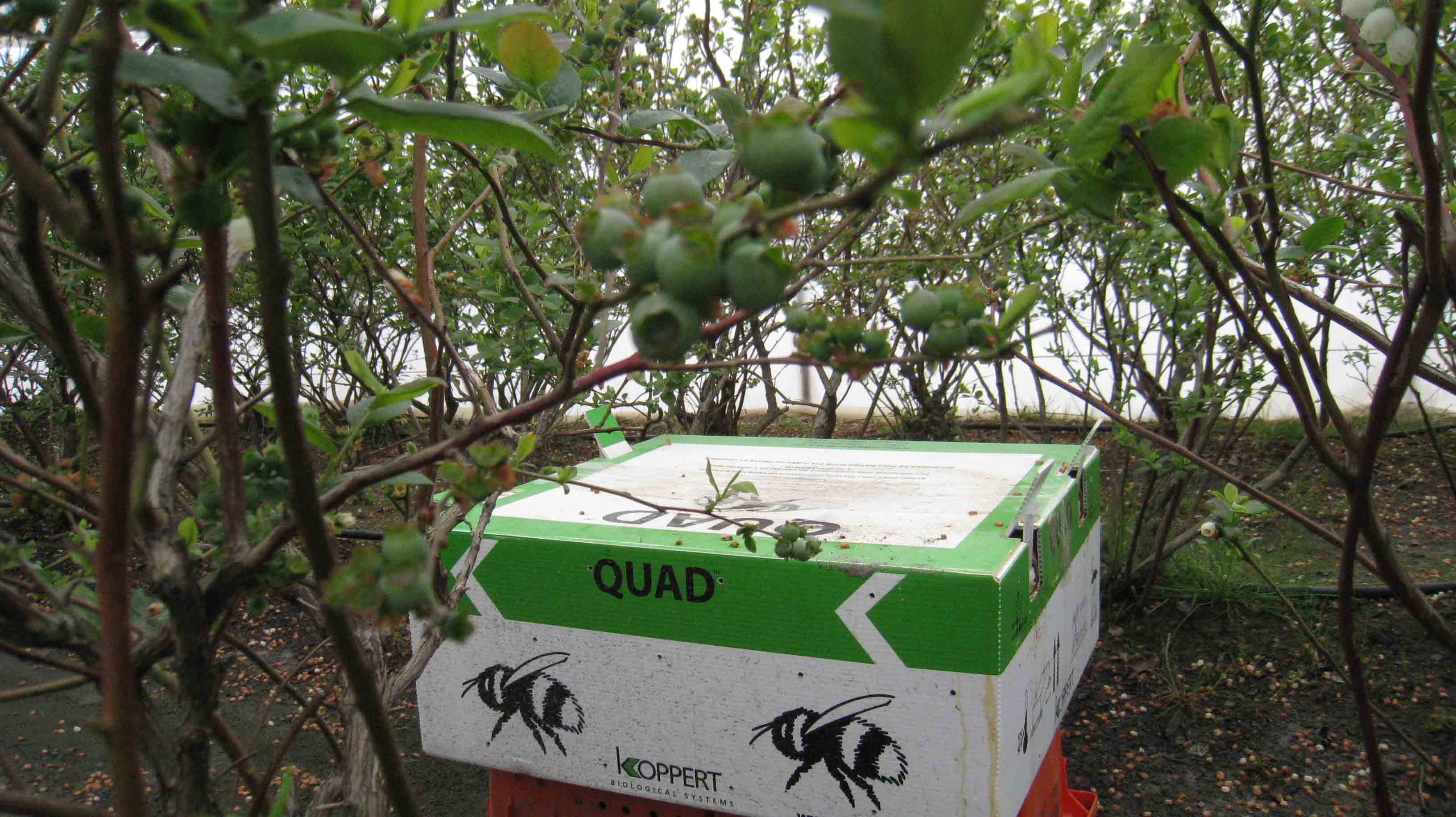 Bee boxes and Green berries