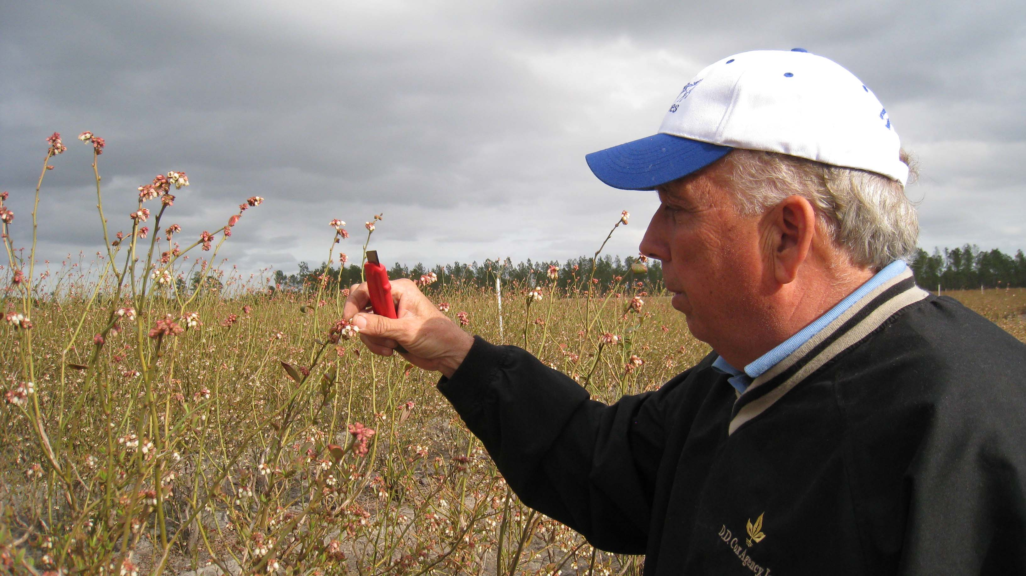Bill inspects the buds for frost damage